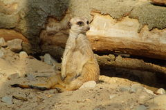 Alert meerkat (Suricata suricatta) standing on guard Stock Photo