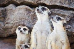 Alert meerkat (Suricata suricatta) standing and looking around Stock Photos