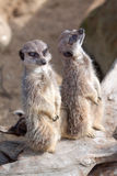 Alert meerkats Royalty Free Stock Image