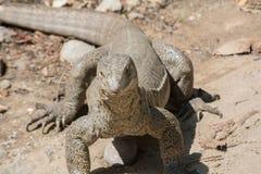 Alert monitor lizard Royalty Free Stock Image
