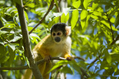 Alert monkey. Alert squirrel monkey, sitting on a branch and looking at some unknow danger Stock Photo