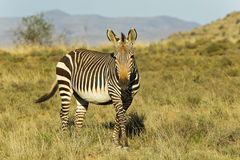 Alert Mountain Zebra Royalty Free Stock Photography