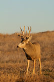 Alert Mule Deer Buck Stock Photography