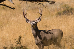 Alert Mule Deer Buck Royalty Free Stock Photography