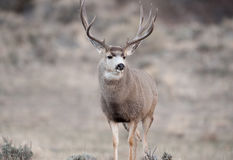 Alert mule deer buck Stock Images