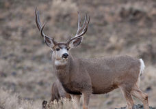 Alert mule deer buck Royalty Free Stock Photos