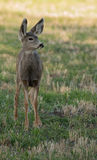 Alert mule deer fawn Stock Photo