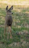 Alert mule deer fawn Stock Photo