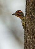 An alert Nubian Woodpecker Stock Images