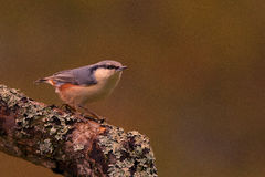 Alert nuthatch on the lookout Royalty Free Stock Photography