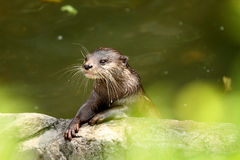 Alert Otter. An Asian Short-clawed Otter Amblonyx cinereus, knows that it's feeding time very soon Royalty Free Stock Images