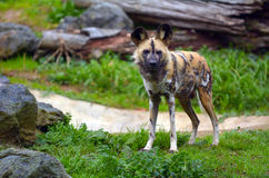 Alert Painted Hunting Dog Royalty Free Stock Photo