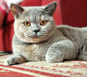 Alert pedigree cat ready to pounce!. Photo of a beautiful pedigree british shorthair cat resting on the carpet and keeping a watchful eye Stock Images