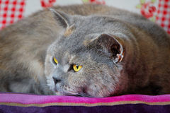 Alert pedigree resting cat Royalty Free Stock Photography