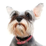 Schnauzer dog. Alert pet schnauzer dog with pricked ear royalty free stock images