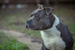 Alert pitbull. An alert pitbull terrier dog in a park stock photos