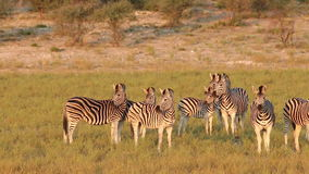 Alert Plains Zebras Royalty Free Stock Photography