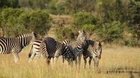 Alert Plains Zebras stock footage