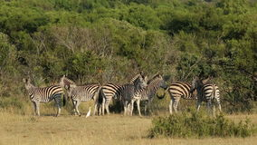 Alert Plains Zebras stock footage
