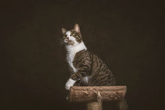 Alert playful young tabby cat with white chest sitting on scratching post against dark fabric background. Royalty Free Stock Images