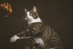 Alert playful young tabby cat with white chest sitting on scratching post against dark fabric background. Royalty Free Stock Photo