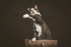 Alert playful young tabby cat with white chest sitting on scratching post against dark fabric background. Stock Photography