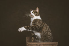 Alert playful young tabby cat with white chest sitting on scratching post against dark fabric background. Stock Images