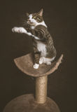 Alert playful young tabby cat with white chest sitting on scratching post against dark fabric background. Stock Image