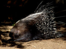 Alert Porcupine Stock Photography