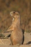 Alert Praire Dog. An alert prairie dog standing outside its burrow Stock Photos