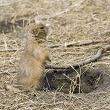 Alert Prairie Dog Royalty Free Stock Photos