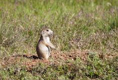 Alert prairie dog. Royalty Free Stock Photography