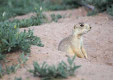 Alert Prairie Dog Stock Photography
