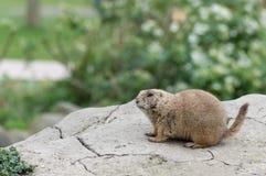 Alert prairie dog (genus Cynomys) Royalty Free Stock Images