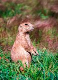 Alert prairie dog intent on keeping watch stock photo