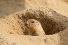 An alert prairie dog Stock Image