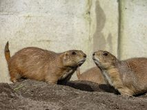 Alert Prairie Dogs Genus Cynomys Near the Holes of their Nests Royalty Free Stock Photos