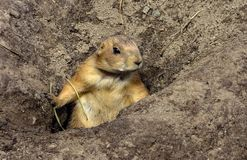 Alert Prairie Dogs Genus Cynomys Near the Holes of their Nests Stock Images