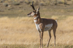 Alert Pronghorn Buck Royalty Free Stock Images