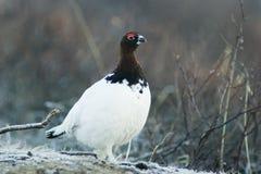 Alert ptarmigan. Alert bird Royalty Free Stock Photography