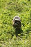 Alert Raccoon Royaltyfri Fotografi