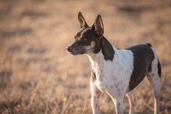 Free Alert Rat Terrier Stock Photos - 128064403