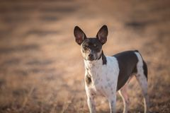 Alert Rat Terrier Dog. Outside against a dry grassy background royalty free stock photo