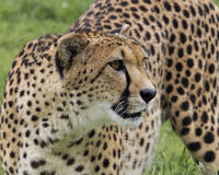 Alert and readty. Cheetah getting ready to run Royalty Free Stock Images