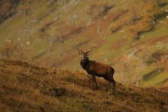 Alert Red Deer Stag standing on hillside in Highlands of Scotland. Red Deer Stag head up alert standing on grass covered hillside, partial catchlight one eye Royalty Free Stock Photos