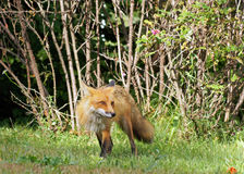 Alert red fox Royalty Free Stock Photography