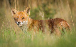 Alert Red fox Stock Images