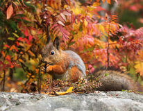 Alert red squirrel in the forest Stock Image