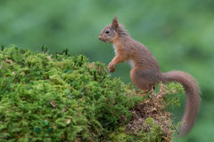 Alert red squirrel Stock Photos