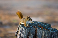 Alert Red Squirrel on Tree Stump Royalty Free Stock Photos